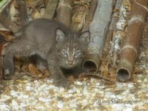 baby bobcat juvenile kitten sanibel island florida