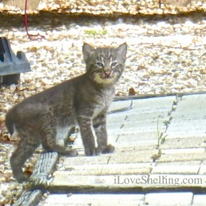 bobcat kitten baby on deck sanibel island floridabobcat kitten baby on deck sanibel island florida