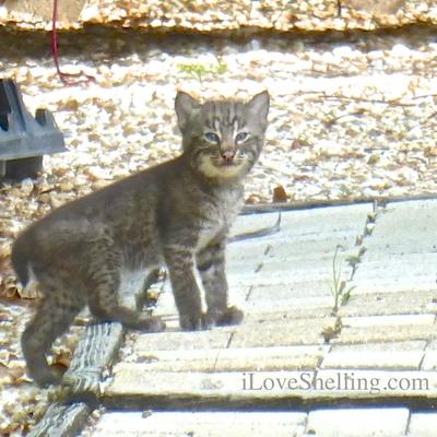 Three Sanibel Bobcat Kittens And their Mamma!!!