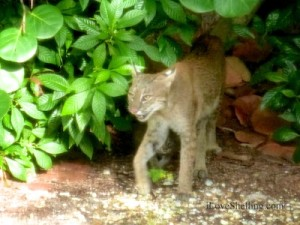 bobcat wildlife sanibel island florida swfl lee county