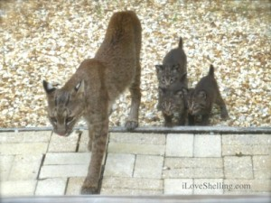 Wild Bobcat teaching 3 kittens on Sanibel Island Florida