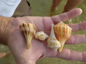 brian shells whelk conch