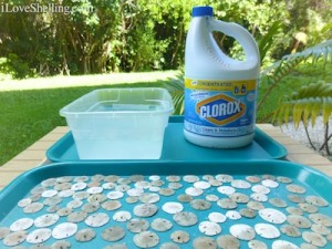 cleaning sand dollars with bleach