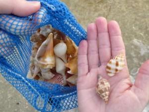deborah shells nutmeg banded tulip