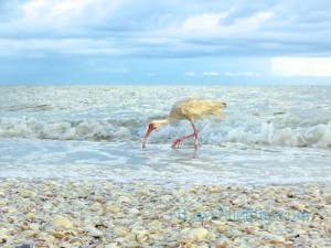 ibis bird seashells sanibel florida