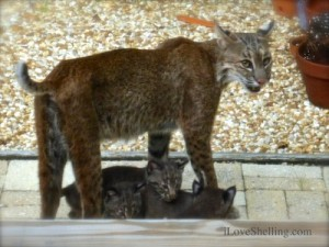 mom bob cat kittens babies sanibel island florida