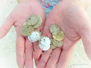 sand dollars found on sanibel