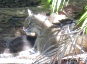 sanibel bobcat nursing kittens