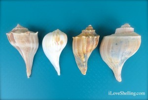 4 different similar whelks