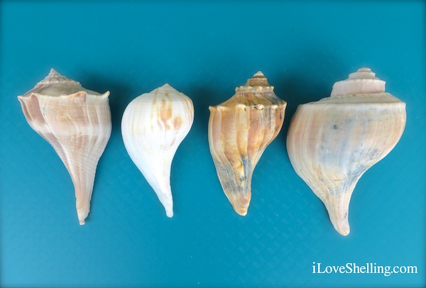 Difference Between Lightning, Pear, Knobbed, Channeled Whelks