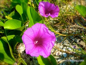Railroad vine sanibel purple flower