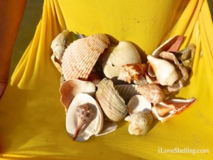 carol seashells shelling sanibel