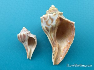 east coast shells knobbed whelkseast coast shells knobbed whelks