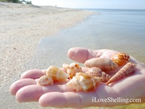 hand full of sanibel seashells