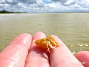 hermit crab in horse conch sanibel lighthouse