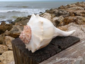 lightning whelk blind pass captiva