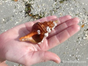 orange horse conch barnacles