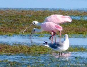 roseate spoonbills captiva flats marsh florida
