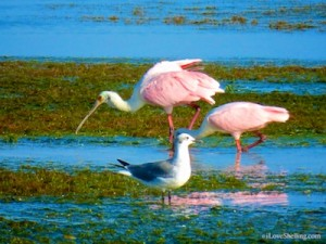 roseate spoonbills laughing gull lee county florida