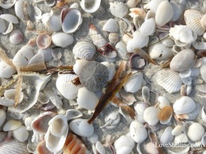 sand dollar beach treasure with shells sanibel