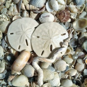 sand dollars seashells florida gulf coast
