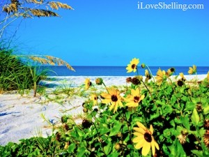 sanibel beach daisies sea oats