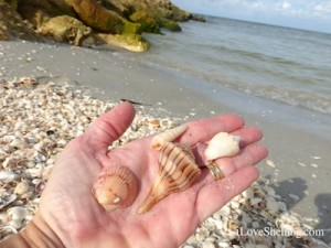 seashells blind Pass captiva florida shelling