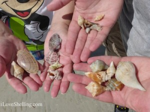 seashells found at sanible island lighthouse beach
