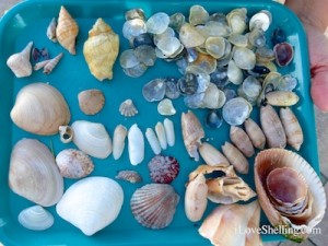 shells found on Cayo costa