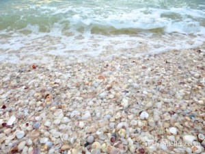 shells wash on shore sanibel captiva