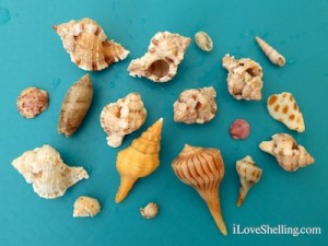 todays shells sanibel lighthouse beach