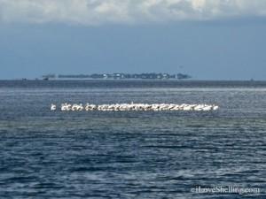 white pelicans useppa island florida
