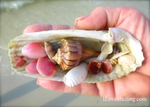 angel wing sea shells