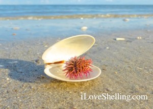 dosina shell with tiny sea urchin sanibel florida