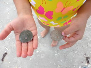 how to tell if a sand dollar is alive