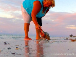 live horse conch sanibel beach