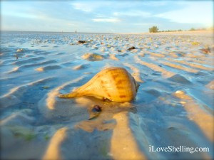 pear whelk at low tide sanibel florida
