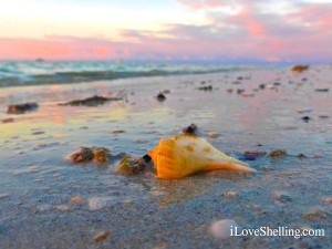 pear whelk with purple sun rise