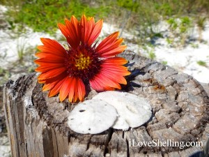 sand dollar day flower
