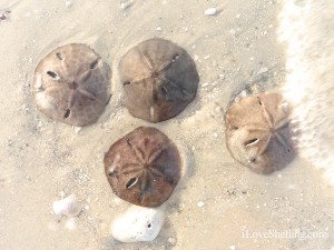 sand dollars in the surf ft myers beach