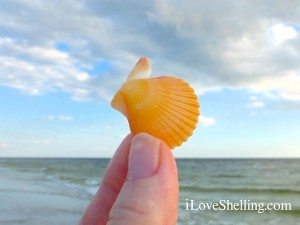 sanibel melon rough scallop