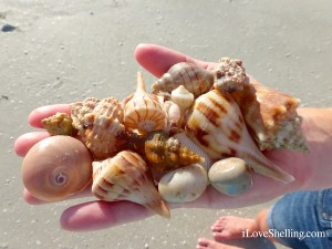 sanibel shells found in october