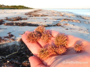 sea urchin gum balls sanibel florida