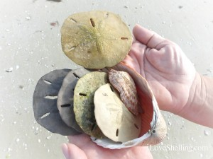 shades colors of sand dollars