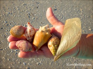 shells found on sanibel florida