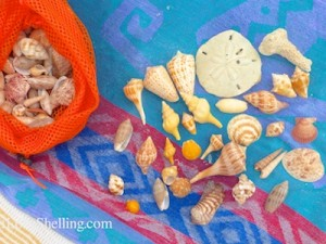 shells from captiva turner beach october