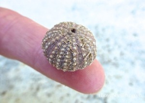 small size sea urchin sanibel island florida