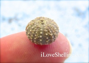 smaller sea urchin sanibel beach bling
