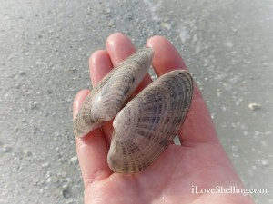 sunray venus clam shell ft myers beach florida