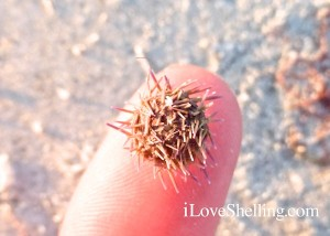 tiny dried sea urchin sanibel beach